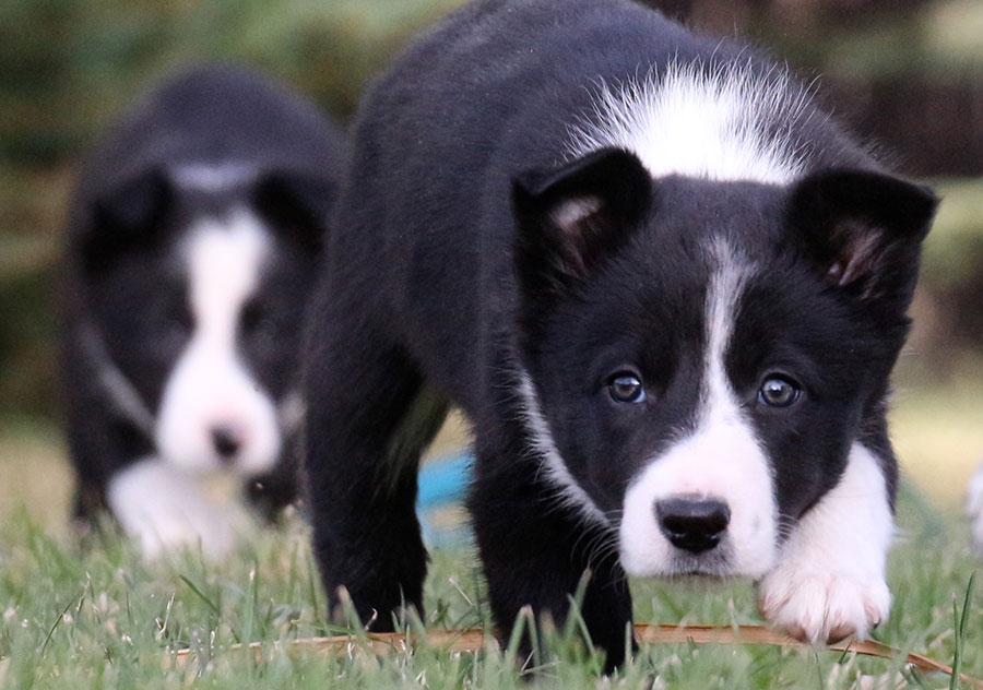 Haus Stirling Kennels Border Collies